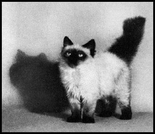 Long Haired Siamese 1935