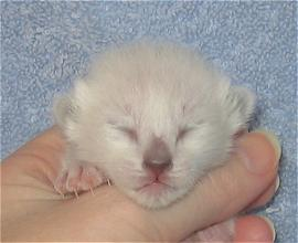 Cobalt at six days old